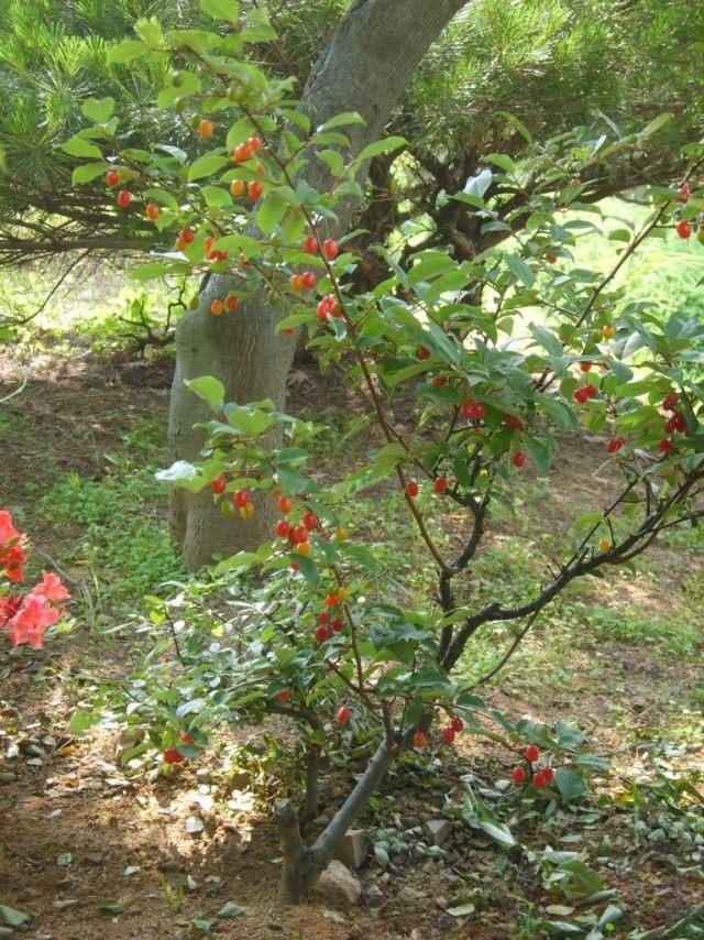 Куст лоха многоцветкового