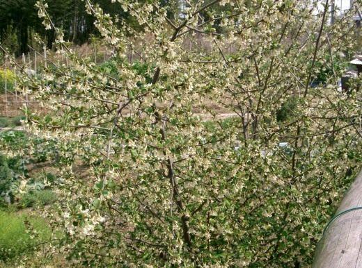 Куст лоха многоцветкового во время цветения