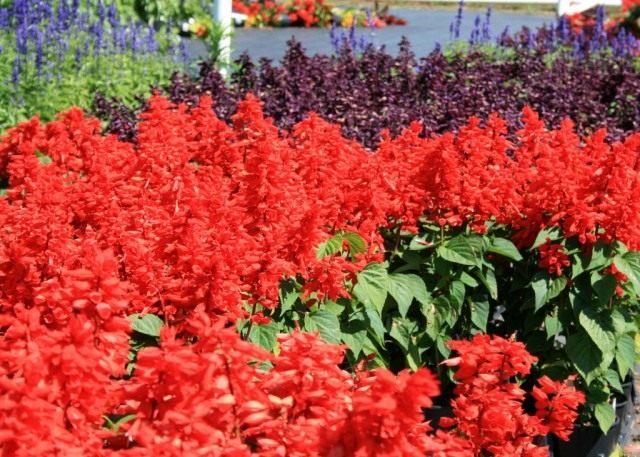 Шалфей блестящий или Сальвия сверкающая (Salvia splendens)