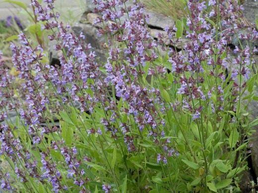 Шалфей лекарственный (Salvia officinalis)