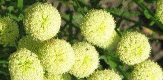 Сантолина цветы
