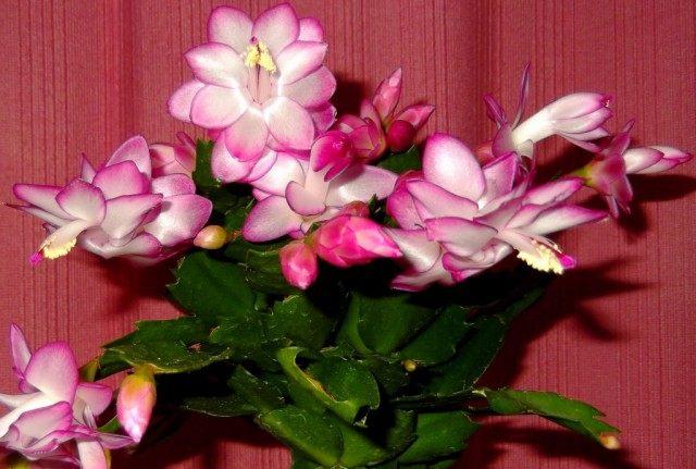 Растения, цветущие в зимний период, стоит поливать как обычно
