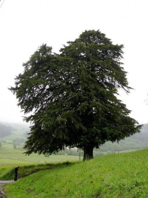 Дерево тиса ягодного