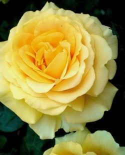 Чайногибридная роза «Cappucino»