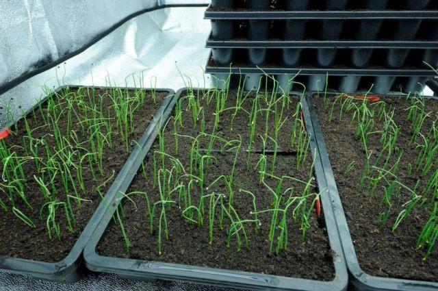 Выращивание лука репчатого рассадным способом