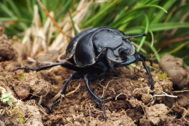 Борьба с жуком-кравчиком