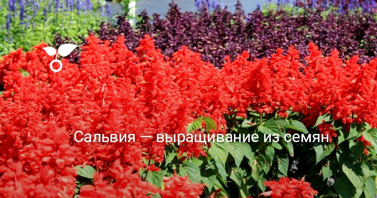 Сальвия фото цветов рассада когда сажать Сальвия посадка и уход выращивание Сальвии как вырастить Сальвию