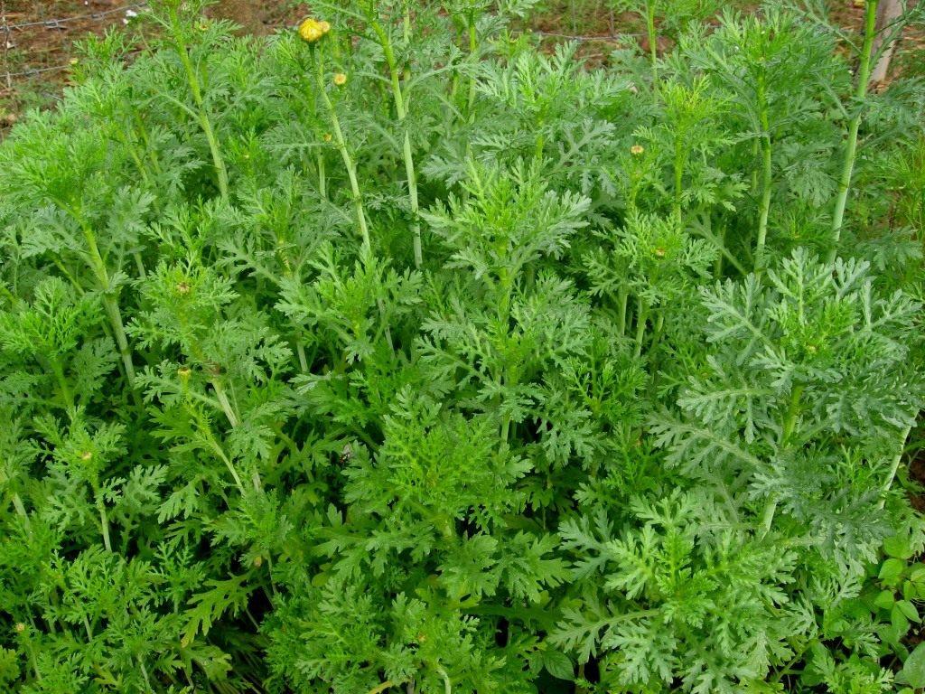 Овощная хризантема выращивание 93