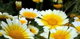 Хризантема увенчанная, или хризантема овощная, или хризантема салатная