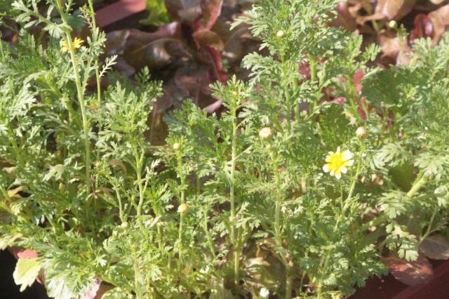 Хризантема увенчанная, или овощная, или салатная