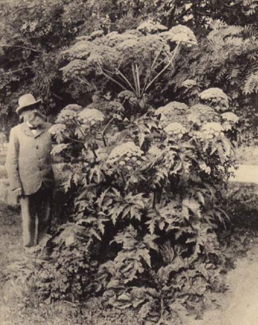 Борщевик Мантегацци в итальянском ботсаду в 19 веке