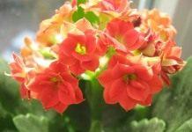 Каланхоэ Блоссфельда — цветок под колпаком