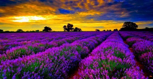 Лавандовое поле на закате, Франция.