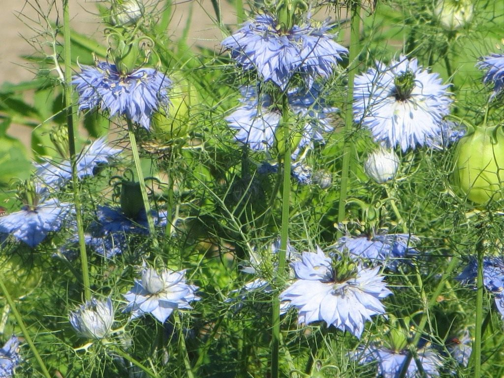 Нигелла, или Чернушка — описание, выращивание и размножение