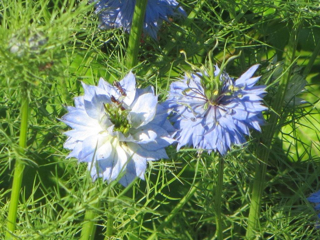 Нигелла альбина выращивание из семян 94