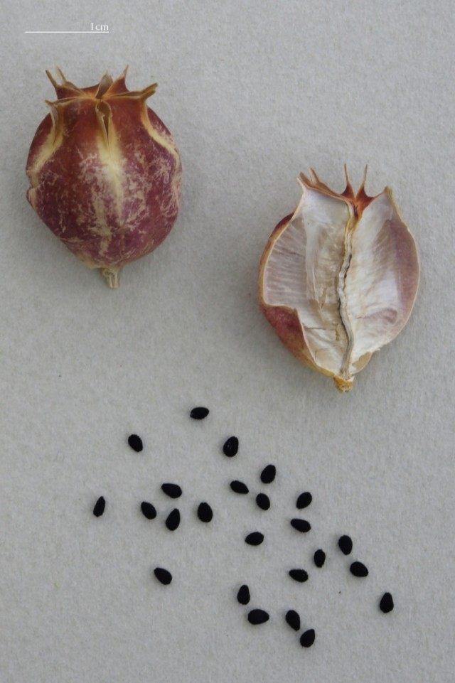 Семена Нигеллы, Чернушки