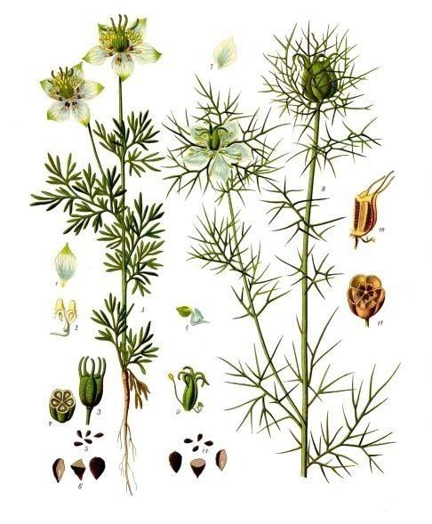 Чернушка посевная и Чернушка дамасская. Ботаническая иллюстрация из книги «Köhler's Medizinal-Pflanzen», 1887