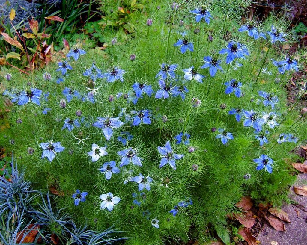 Нигелла альбина выращивание из семян 58