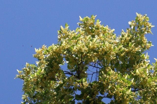 Липа во время цветения