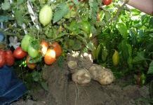 Как вырастить томатокартофель самому?