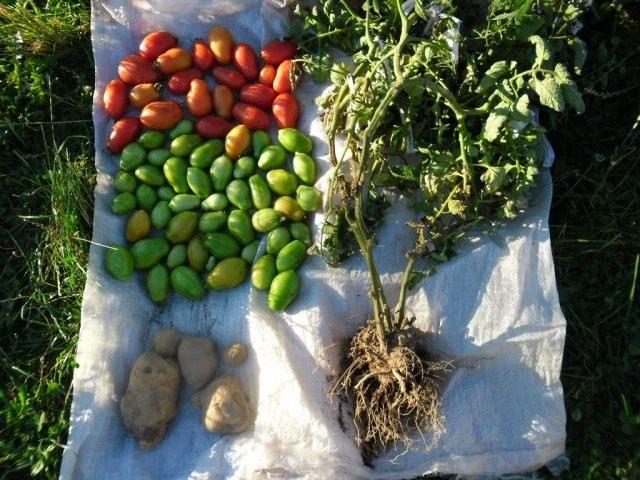 Урожай Томатов и Картофеля с одного куста