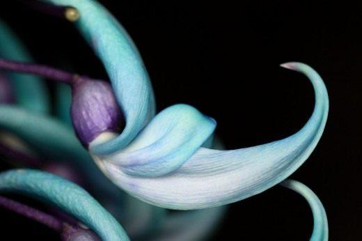Стронгилодон крупнокистевой (Нефритовая лоза)