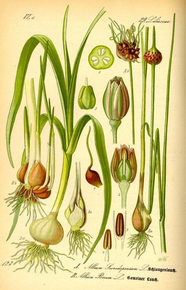 Лук причесночный (справа). Ботаническая иллюстрация из книги О. В. Томе «Flora von Deutschland, Österreich und der Schweiz», 1885