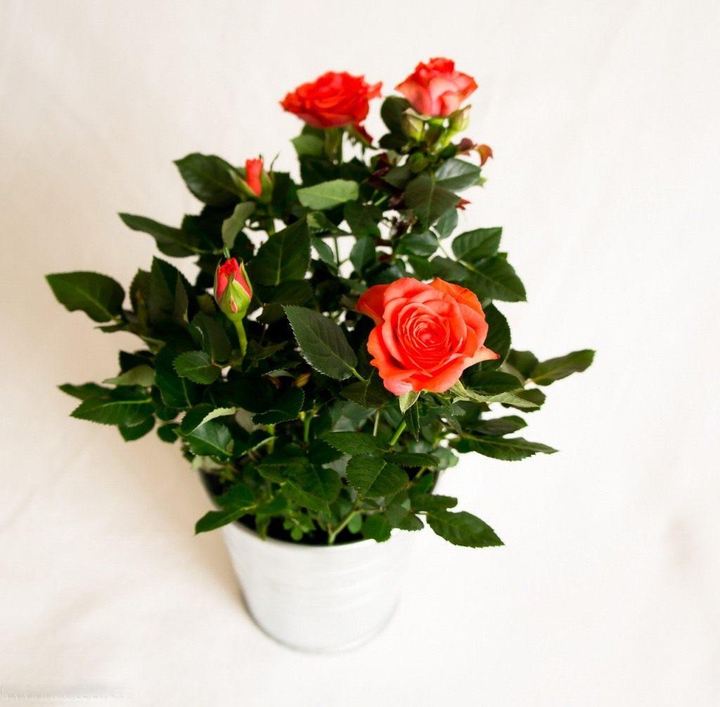 Домашняя роза засыхает