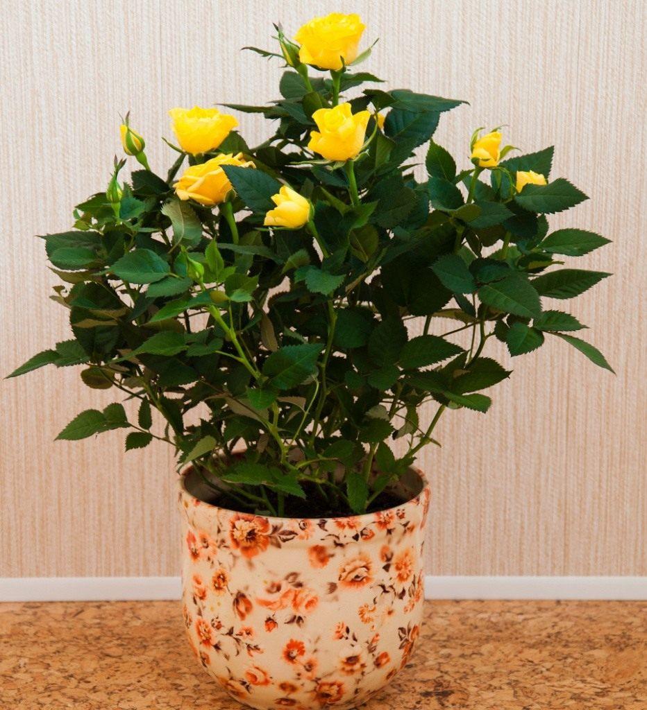 173 Почему сохнет домашняя роза зимой