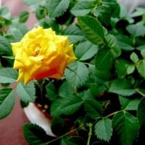 Здоровая роза