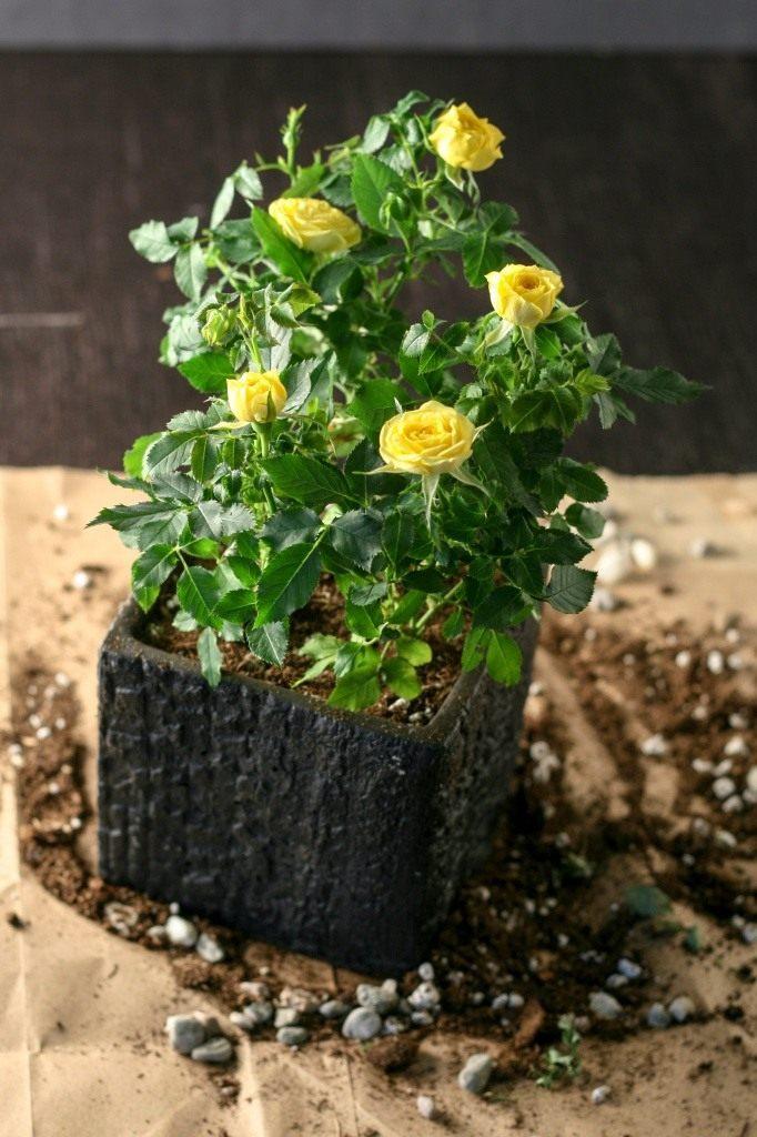 Почему роза в горшке желтеет