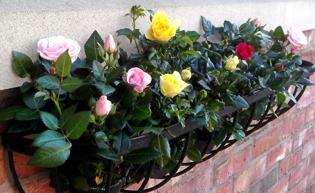 Почему желтеет роза на улице