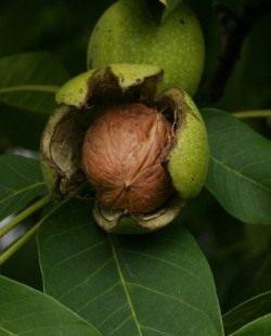Раскрывшийся околоплодник Грецкого ореха