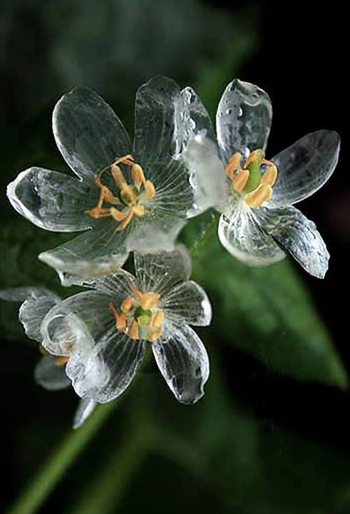 Цветки Двулистника Грея после дождя