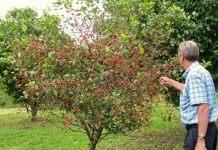 Карликовая черешня в Вашем саду