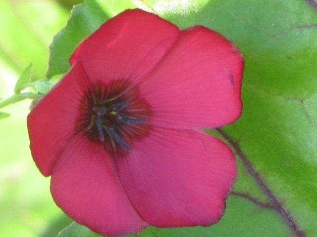 Лён крупноцветковый