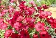 Лён крупноцветковый: условия выращивания