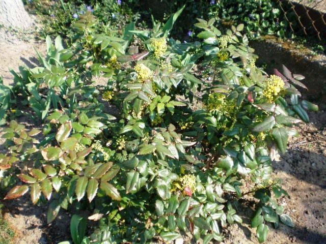 Общий вид цветущего растения магония падуболистная