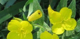 Энотера, или Ослинник (Oenothera)