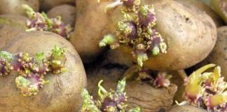 Проверьте семенной картофель