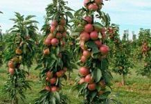 Карликовые, или колоновидные яблони– путь к высокому урожаю