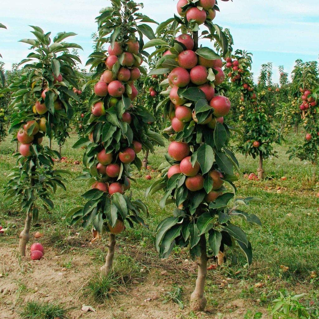 Какие яблони лучше посадить на даче