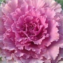 Декоративная капуста сорт Токио Розовый (Tokyo-Pink)