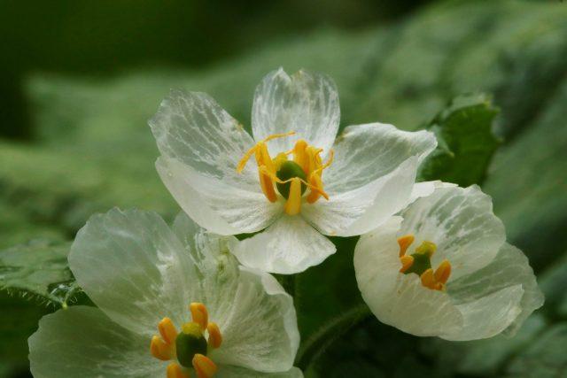 Двулистник — прозрачный цветок