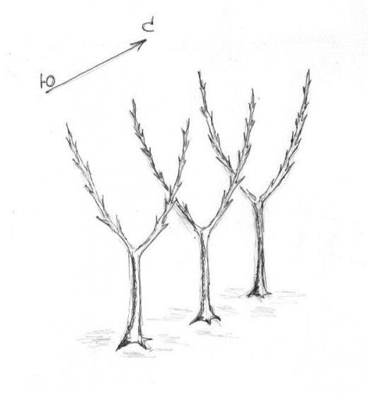 Рис. 1 Карликовые яблони с двумя колоновидными побегами