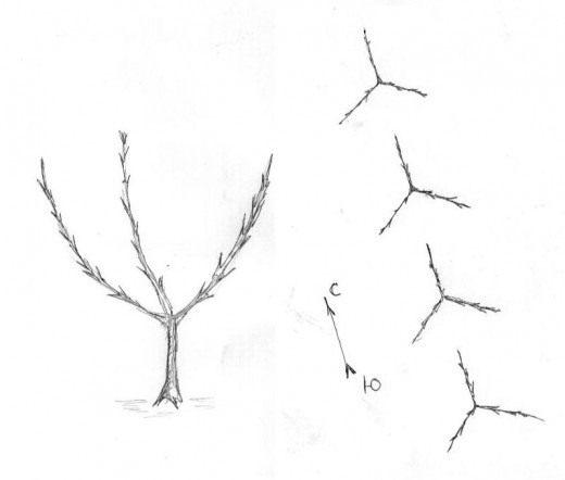Рис. 2 Карликовые яблони с тремя колоновидными побегами