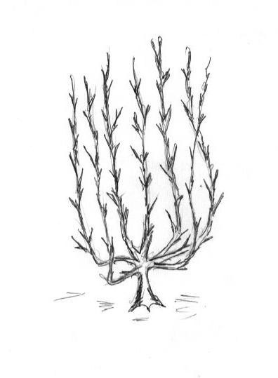 Рис. 3 Вазообразная крона яблони