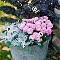 Схема 1: . А. Розовая хризантема 'Soft Cheryl'; B. Цинерария приморская; C. Декоративная капуста «Redbor».