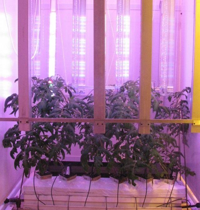 Выращивание томатов под светодиодными светильниками