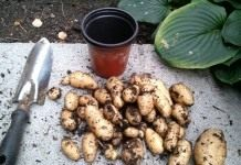 Клоновый отбор клубней картофеля